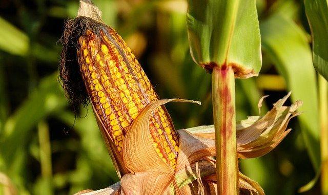 Jak chronić uprawy kukurydzy?