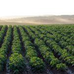 W jaki sposób nanosić fungicydy na rośliny